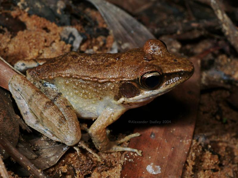 Wood frog, Sylvirana daemeli