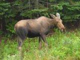 Moose were re-introduced to Cape Breton around 1947 after over-hunting practically wiped them out.