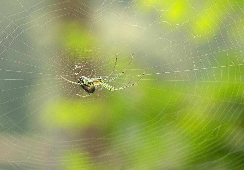 Orb-Weaver Spider in Wait