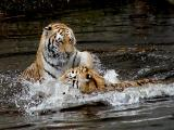 cats_in_water