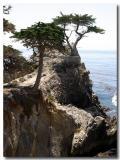 Monterey: Lone Tree