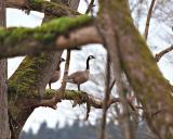 Canada Tree Goose