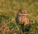 burrowing owl in evening light