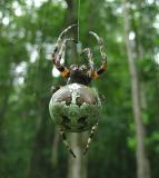 Giant Lichen Orbweaver Spider