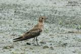 Oriental Pratincole  Scientific name - Glareola maldivarum  Habitat - Common in drier open areas, dry ricefields, pastures and plowed fields.