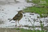 Richard's Pipit   Scientific name - Anthus novaeseelandiae   Habitat - Stays on the ground in open country, grasslands, ricefields and parks.