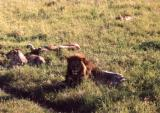 Lions after a kill