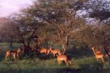 Serengeti - springbok