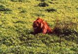 Serengeto - Lion