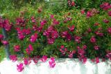 Rosy Weeds