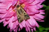 dingy-cutworm-moth-6586.jpg