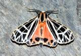 parthenice-tiger-moth-6475.jpg