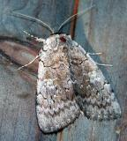 sleepy-underwing-6976.jpg