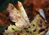 maple-spanworm-7934.jpg