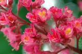 Horse Chestnut Bloom