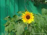 7.10.04 sunflower