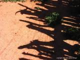 7.15.04 goat shadow