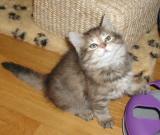 Pikku at 8 weeks - Pikku is torbie girl