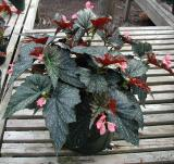 Begonia Dream Lover