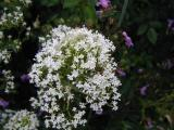 Centranthus  (Valerian)