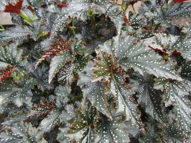 Begonia Little Miss Mummey
