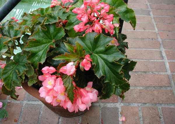 Begonia Hannah Serr