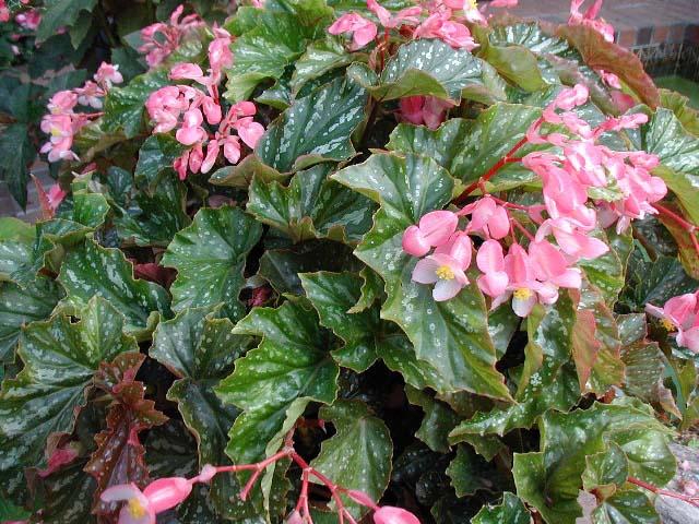 Begonia Silvermist