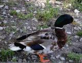 Duck.jpg(203)