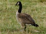 Canadian Goose.jpg(193)