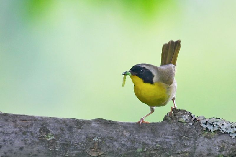 Yellowthroat and Caterpillar