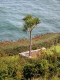 A Tree by the Sea - Ardmore (Co. Waterford)