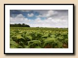 Alexander County tobacco fields, blue/green contrasts