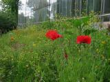 Poppies & Glass