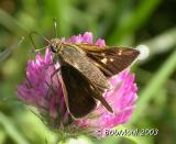 Crossline Skipper Female Variation