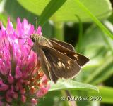 Crossline Skipper Female