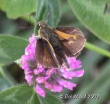 Crossline Skipper Male
