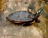 Painted Turtle-Juvenile