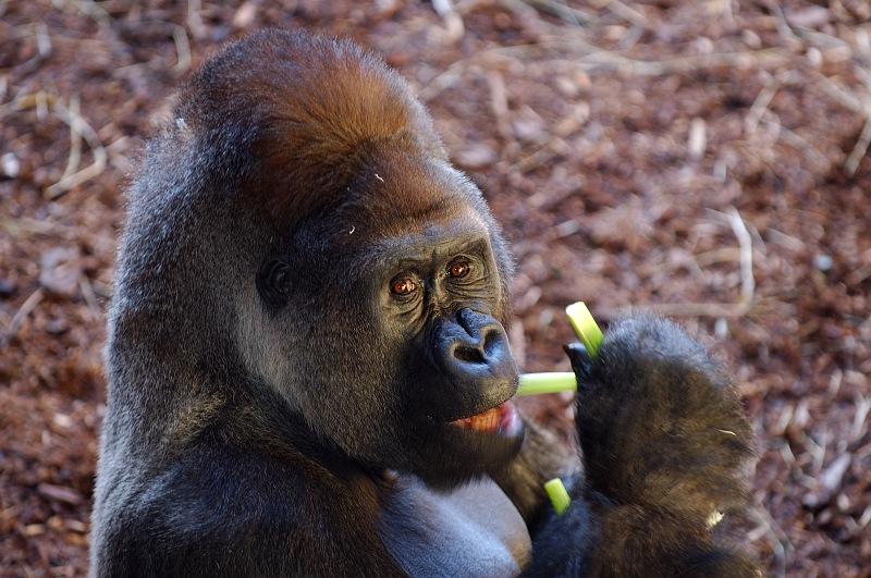 Male Gorilla eating celery.jpg