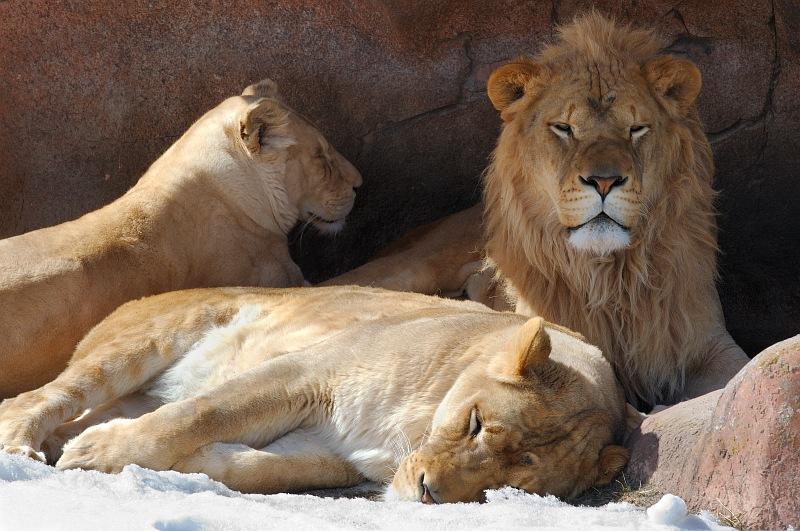 Three lions in winter den.jpg