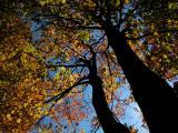 Fall_Tree8581.jpg