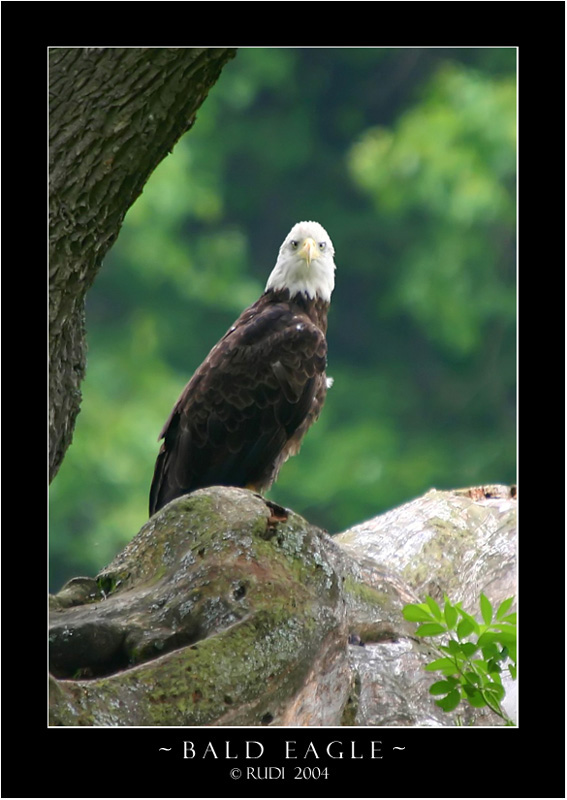 Bald Eagle - White City Road.jpg