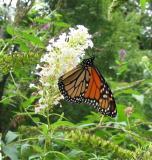 Monarch, Tiger Swallowtail, Black Swallowtail, Virginia