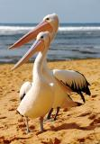 Two pelican mates