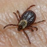 female American Dog Tick - Dermacentor variabillis
