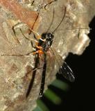 Rhyssella nitida (male)
