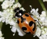 Parenthsis lady beetle - Hippodamia parenthesis