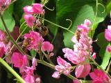 Honey bees on Coral Vine (Antigonon leptopus)