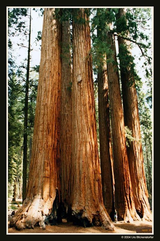 sequoia2 Kopie.jpg