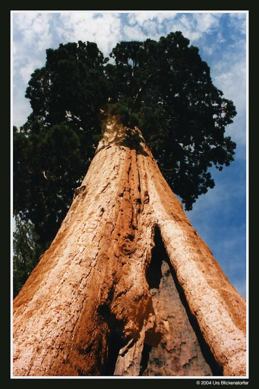 sequoia3 Kopie.jpg