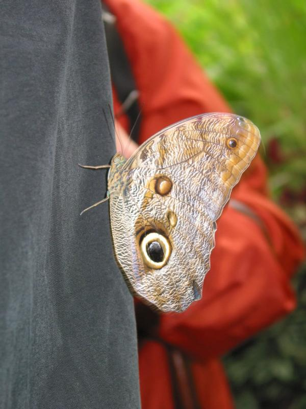 Owl Butterfly on a persons jacket